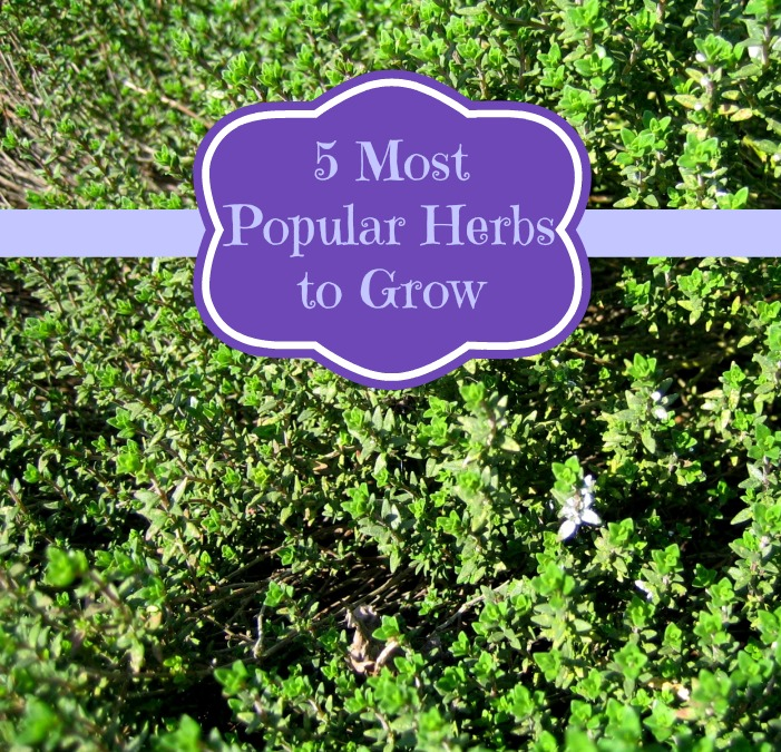 5 Most Popular Herbs to Grow
