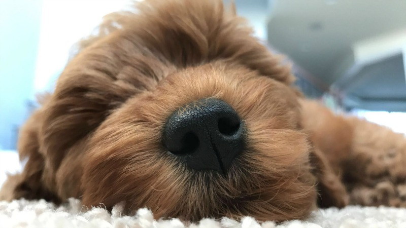 New Year New Puppy Supplies Needed For New Mini Golden