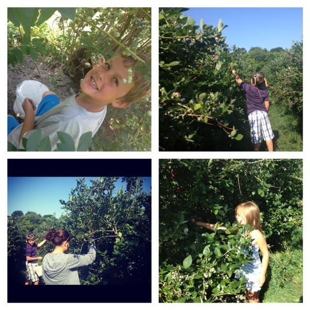 U Pick Blueberries in Michigan